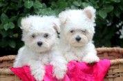 Molly – Maltese Puppy  www.keystonepuppies.com  #keystonepuppies  #maltese