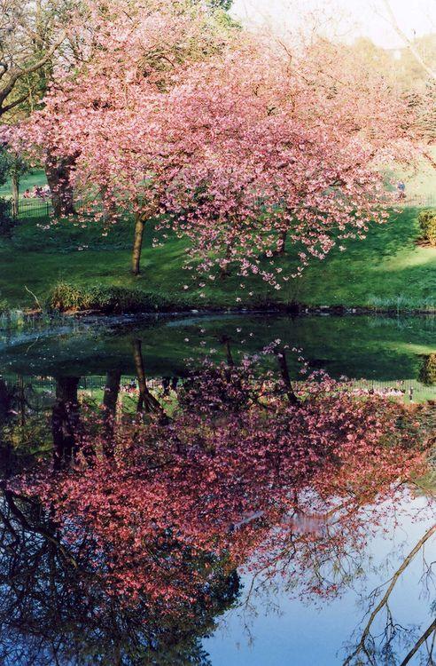 Cherry Tree Reflections Beautiful Nature Nature Beautiful Tree