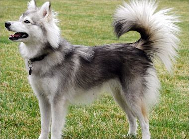 Alaskan Klee Kai Dog Information And Reviews - Learn All About It