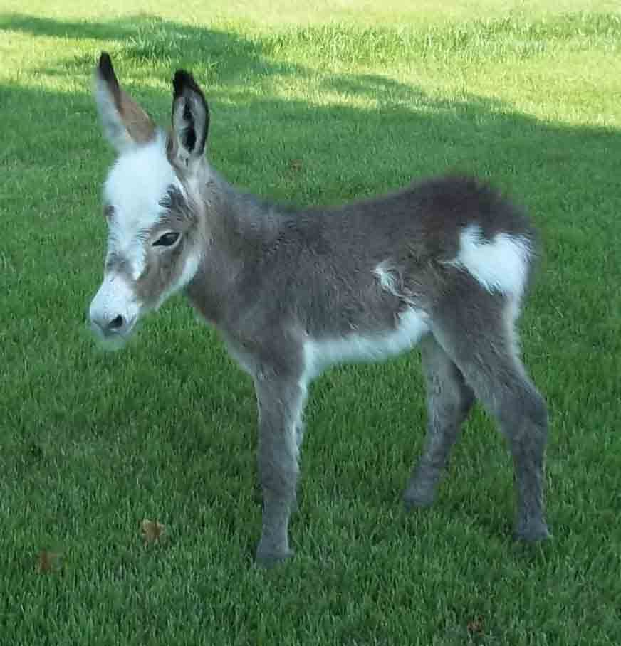 Miniature Donkeys For Sale At Dogwood Hills Farm Omg Too Cute Miniature Donkey Zebras Donkey