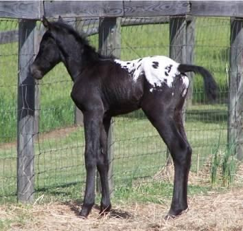 Appaloosa:  Originally bred by the Native American Indian tribe of the Nez Perce.