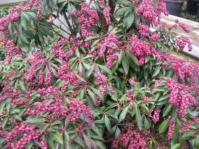 pieris japonica valley valentine plantes ext rieures arbustes persistants pinterest. Black Bedroom Furniture Sets. Home Design Ideas