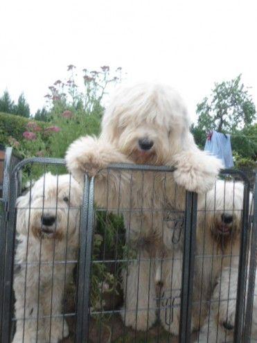 QUALITY OLD ENGLISH SHEEPDOG PUPPIES Tenbury Wells - badezimmer english