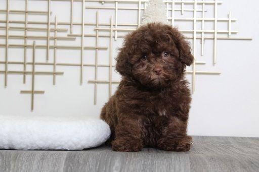 Shih Poo Puppy For Sale In Bel Air Md Adn 54678 On Puppyfinder Com Gender Male Age 9 Weeks Old Shih Poo Shih Poo Puppies Puppies For Sale
