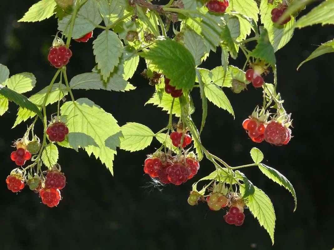 Hallon, Rubus idaeus - Träd och buskar - NatureGate
