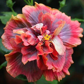 hidden valley hibiscus worldwide hibiscus garden in bangalore india hibiscus pinterest. Black Bedroom Furniture Sets. Home Design Ideas