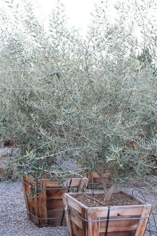 Olive tree use in large pots or planters easy to prune for Fertilizing olive trees in pots