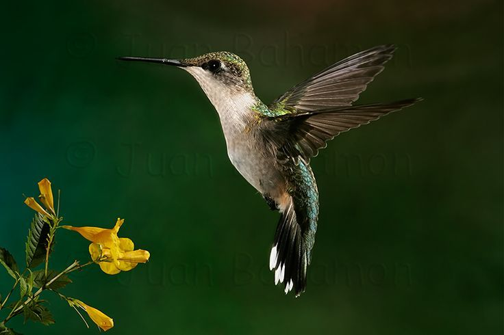 hummingbird ruby throated female - AOL Image Search Results