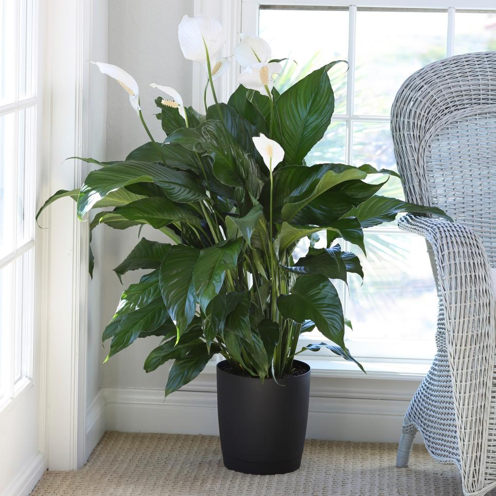 plants that clear the air. (With images) Peace lily
