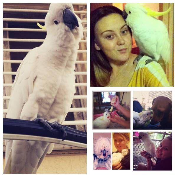LOST COCKATOO: 11/07/2015 - Inala, Queensland, QLD, Australia. Ref#: L20150 - #ParrotAlert #LostBird #LostParrot #MissingBird #MissingParrot #LostCockatoo #MissingCockatoo