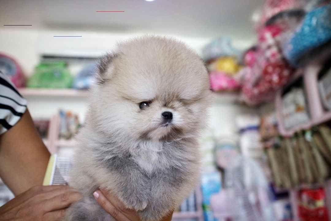 Pomeranian Poodle Mix Puppies For Sale Near Me - Pets Lovers