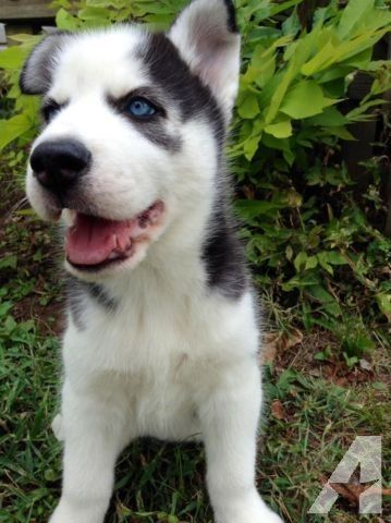 Akc Siberian Husky Puppies For Sale 12 Weeks Husky Puppies For