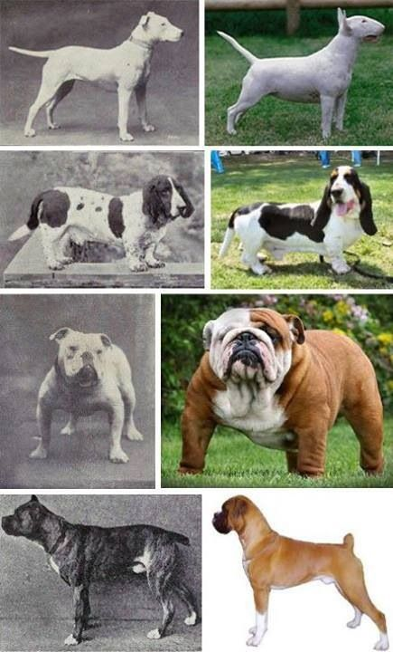 How Selective Breeding Changes Dog Breeds Over Time Dogs Dog