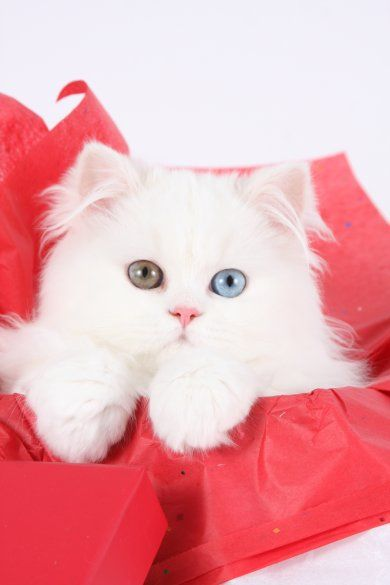 White Persian Kittens For Sale Persian Kittens Teacup Persian Kittens White Persian Kittens