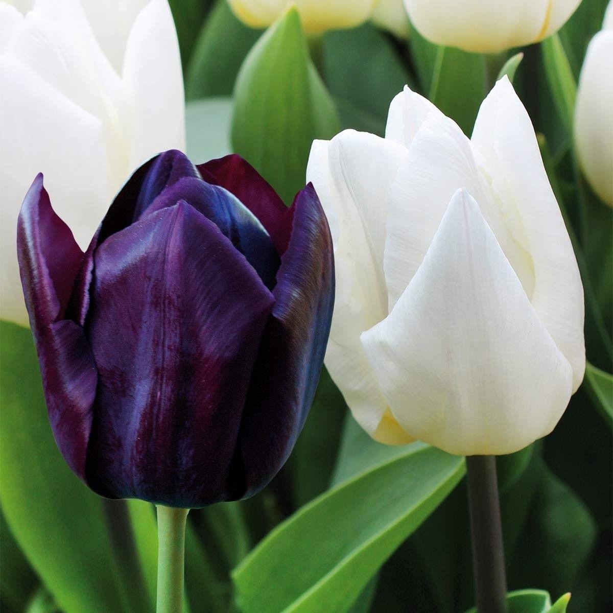 Tulpen Mischung Fruhlingsgarten Schwarz Auf Weiss Fein Aufeinander Abgestimmte Farbmischung Von Weissen Und Dunkelviolette Fruhlingsgarten Fruhling Tom Garten