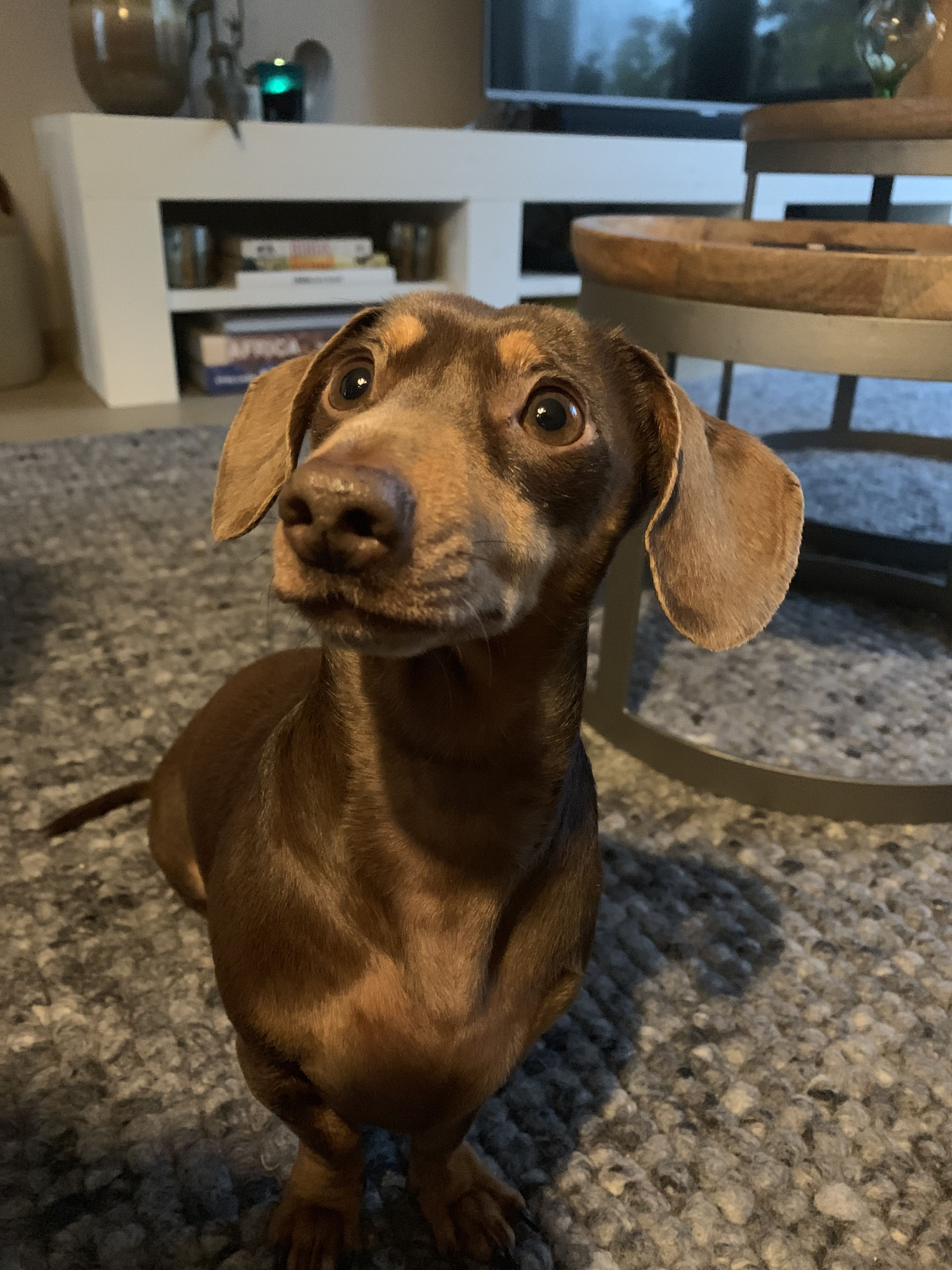 Pin By S Elzie On Pets With Images Dachshund Puppy Miniature