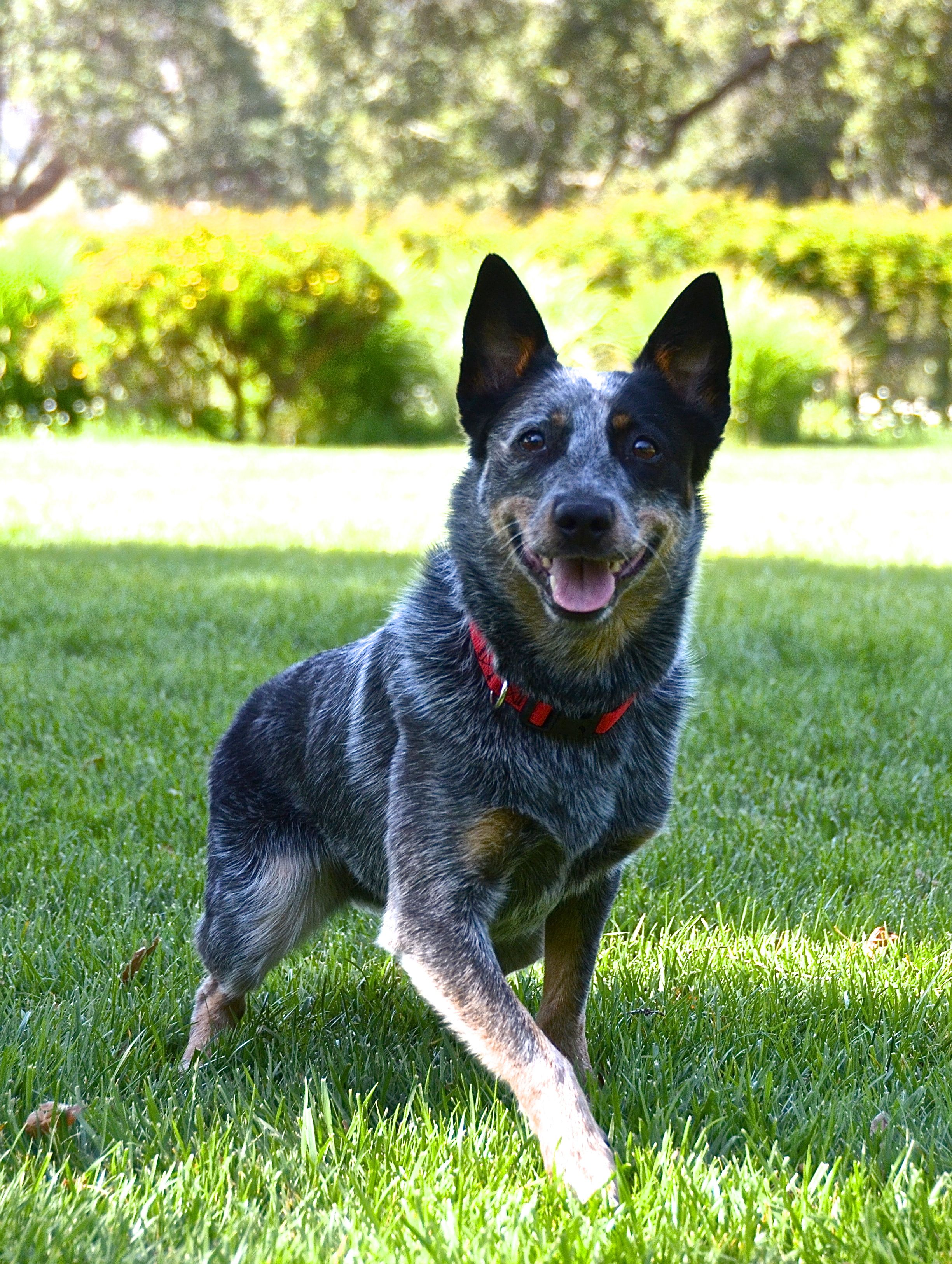 Pin By Laurie Nykaza On Dog Love Austrailian Cattle Dog Blue Heeler Dogs Dogs