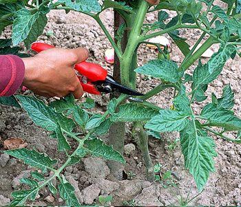 tomates la taille jardins potagers pinterest pied de tomate les tomates et pied de. Black Bedroom Furniture Sets. Home Design Ideas