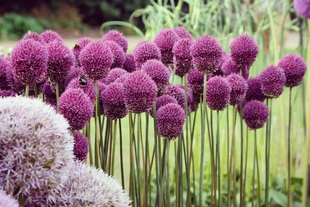 Pin On Allium