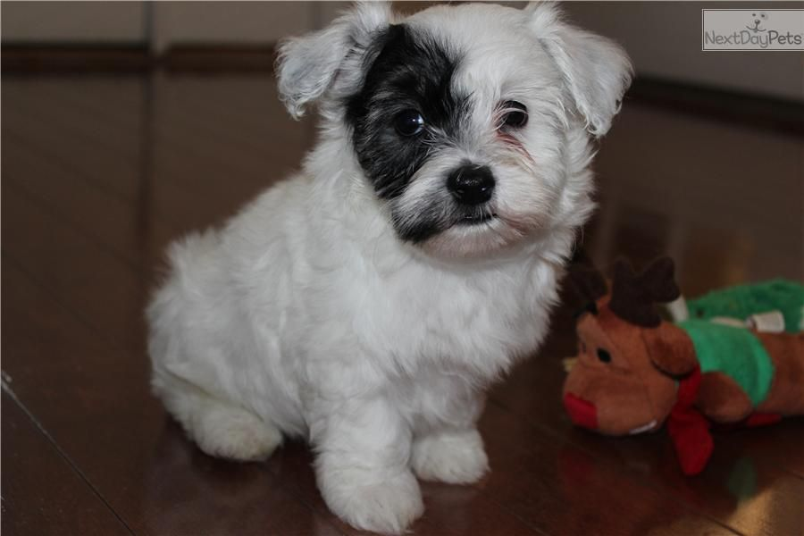Meet Diego A Cute Havanese Puppy For Sale For 600 Diego Akc Havanese Male Havanese Havanese Puppies Havanese For Sale