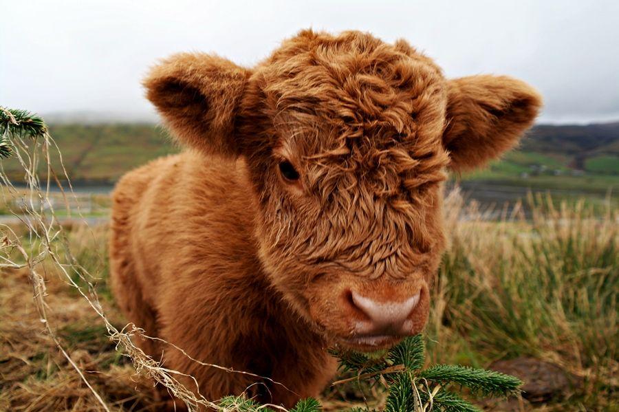 Cute baby Highland Cow