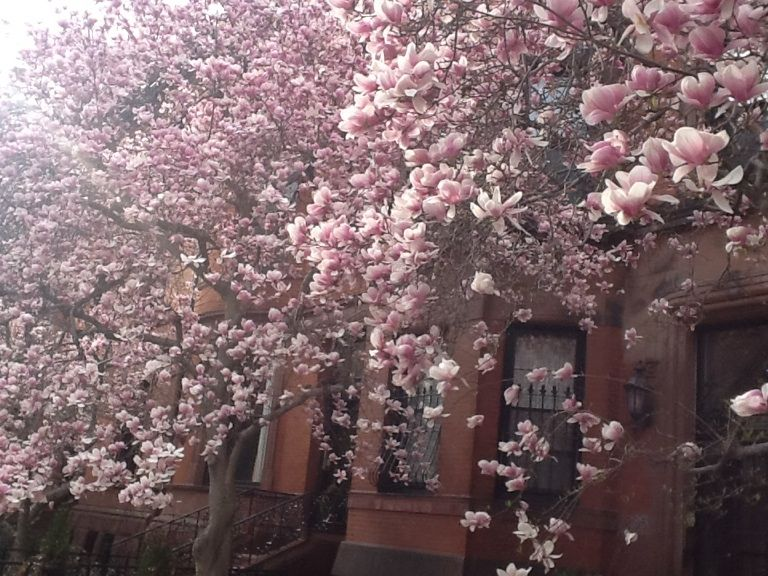 Magnolia Tree In Boston Beautiful Just Beautiful Pretty Pics