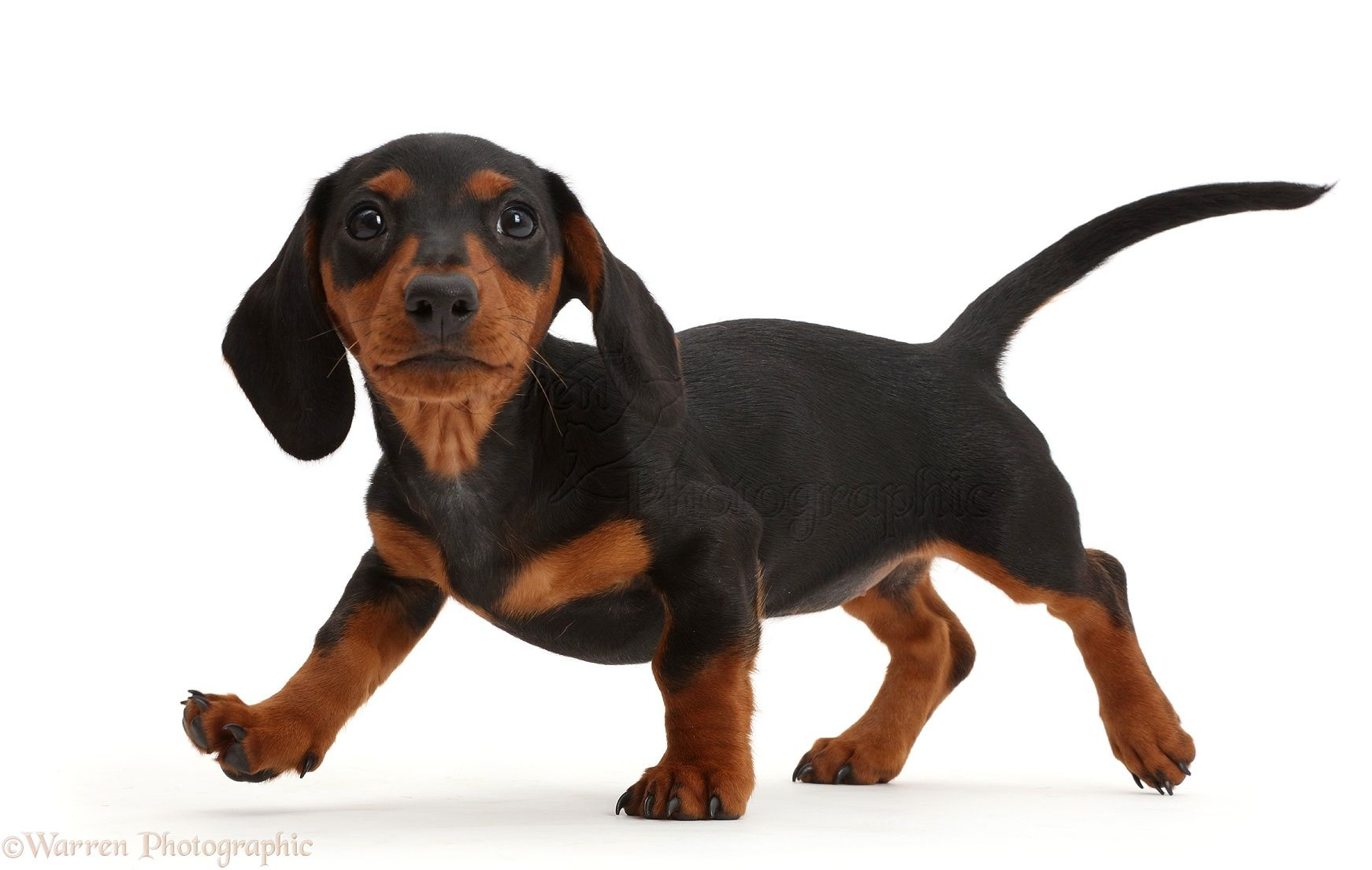Image Result For Standard Smooth Haired Dachshund Dachshund