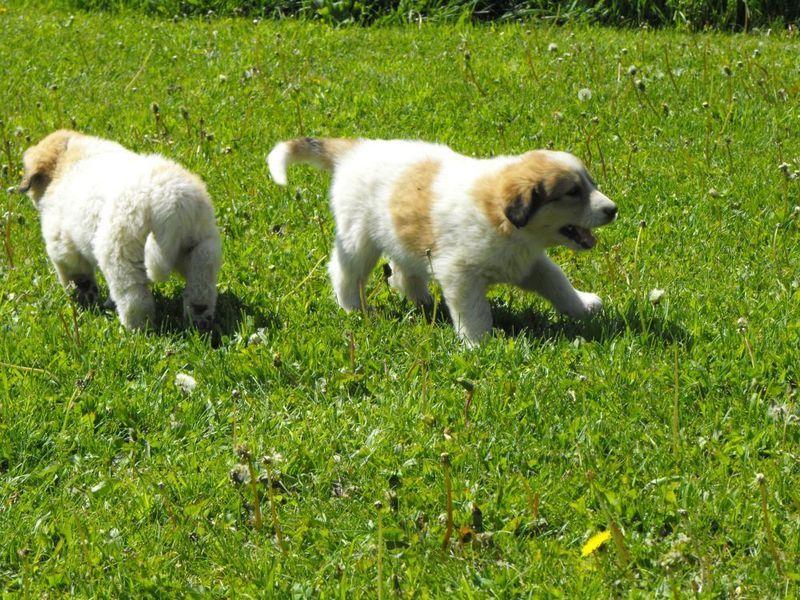 maremma, kangal cross puppies