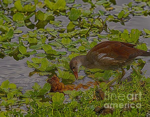 Title  Juvenile Common Moorhen  Artist  Anne Rodkin  Medium  Photograph - Photography