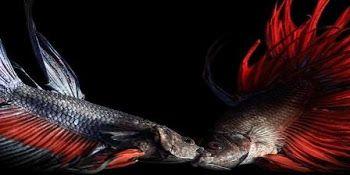Unduh 9700 Gambar Ikan Cupang Jantan HD Terbaru