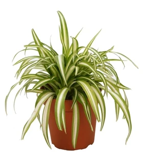 Buy Pet Safe Plants For Sale Online Garden Goods Direct In 2020 Spider Plants Plant Sale Plants