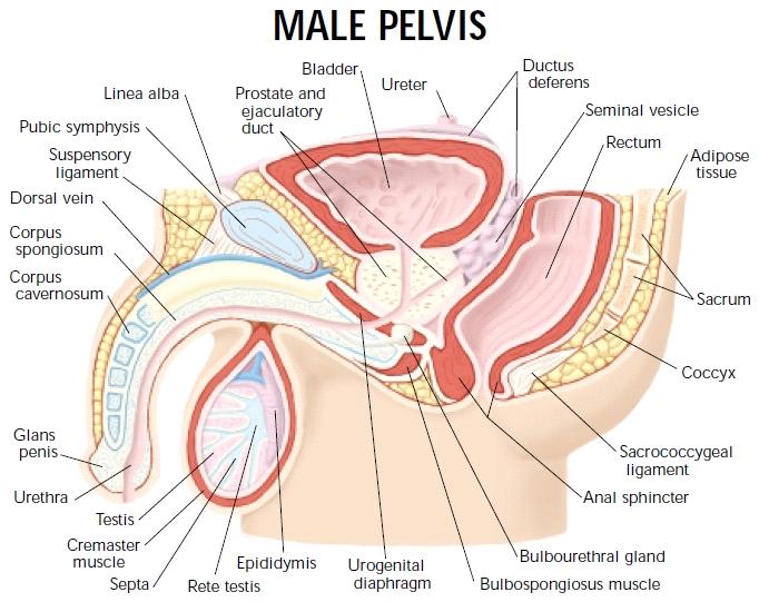 Male pelvis - sagittal | Анатомия | Pinterest