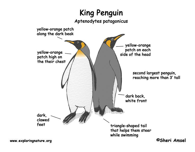 emperor penguin diagram track and field king wiring schematic learn about animals food webs penguins anatomy
