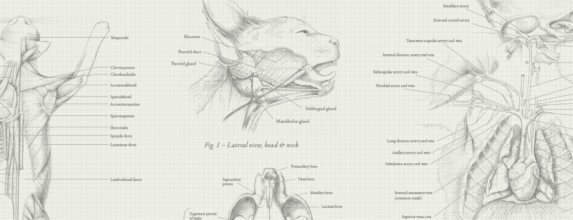 Image result for cat anatomy face | Character Design | Pinterest ...