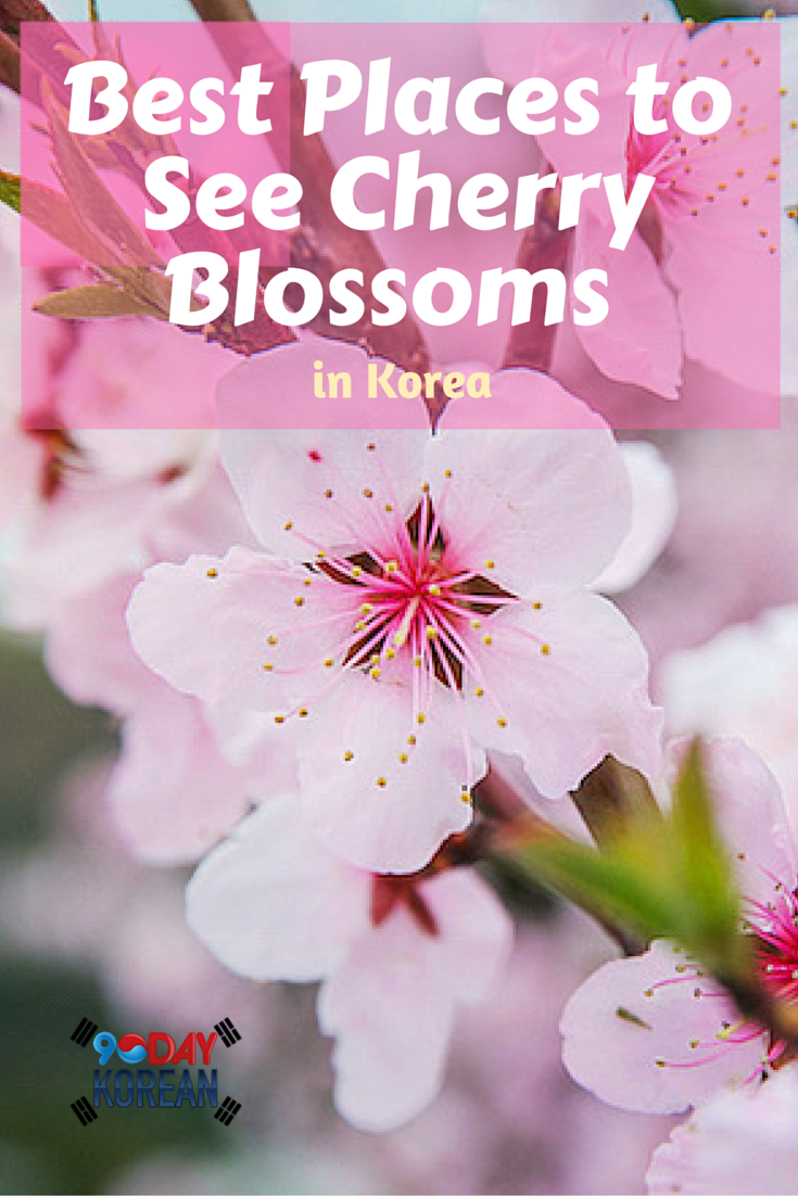 Best Places To See Cherry Blossoms In Korea 90 Day Korean Cherry Blossom Korea Travel Blossom