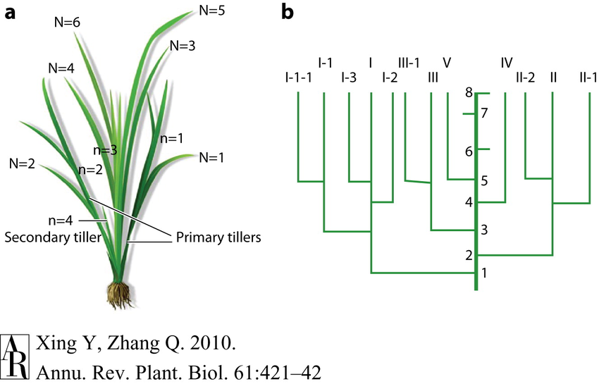Figure 2: Synchronous growth of rice leaves and tillers  (a