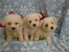 Malitichon Puppies Puppies And Dogs For Sale Pets Classified Ad