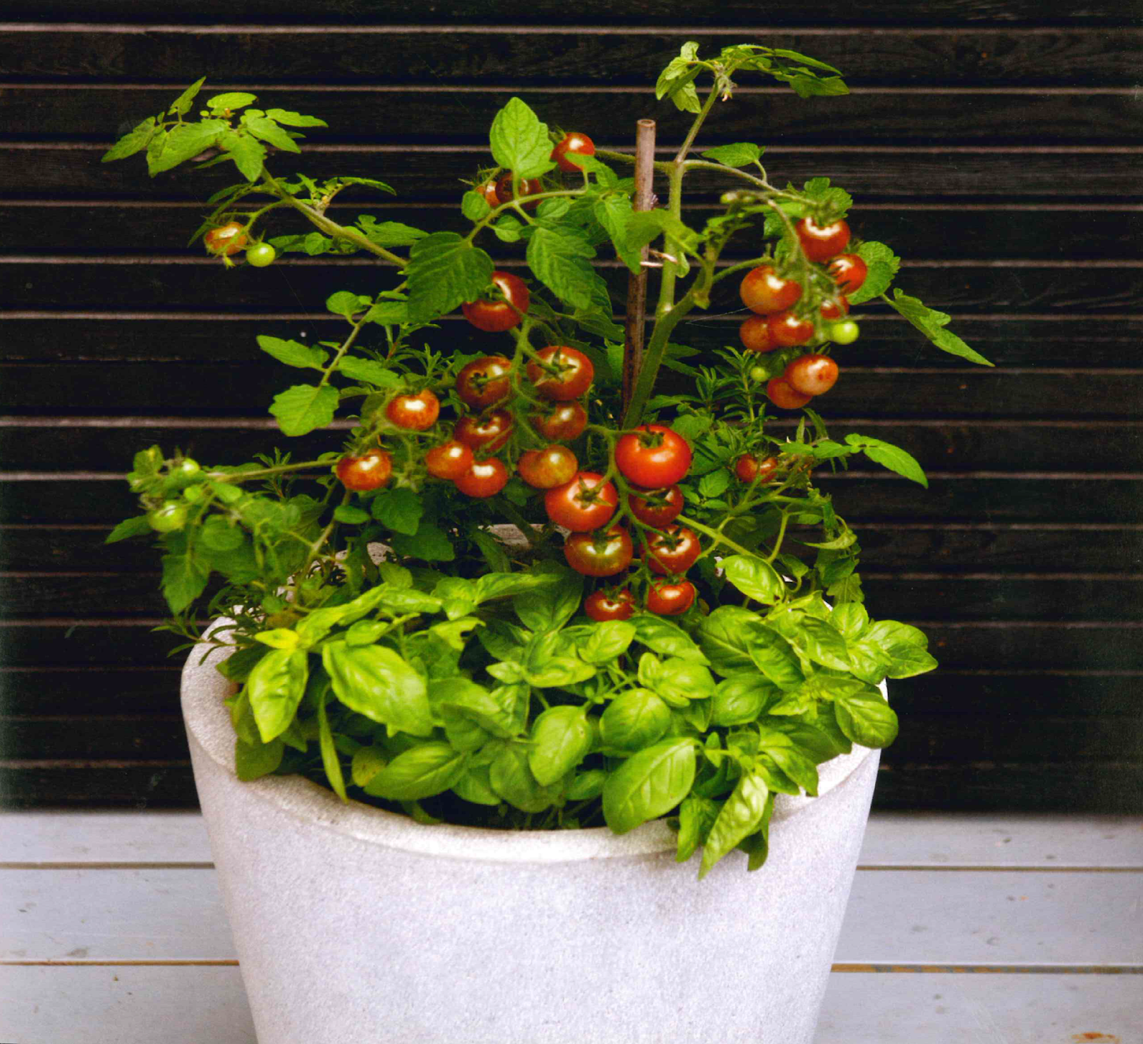 Grow Tomatoes And Basil Together In One Container For The 400 x 300