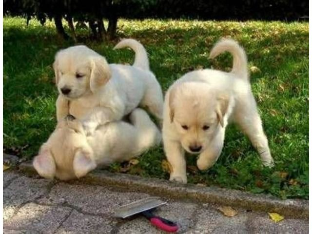 Amazing Very Affectionate Golden Retriever Puppies Looking For