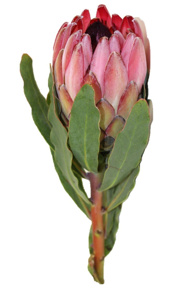 Proteas Are One Of Our Flowers That Grow Almost Year Round These Flowers Are Very Large And Always Stand Out Flowers Fl Protea Flower Protea Protea Bouquet