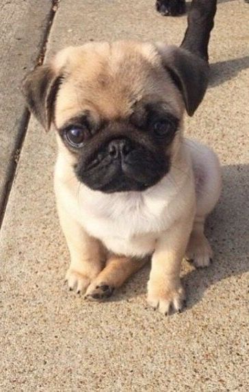 Pinterest Blessed187 Cute Animals Cute Pugs Cute Baby Animals