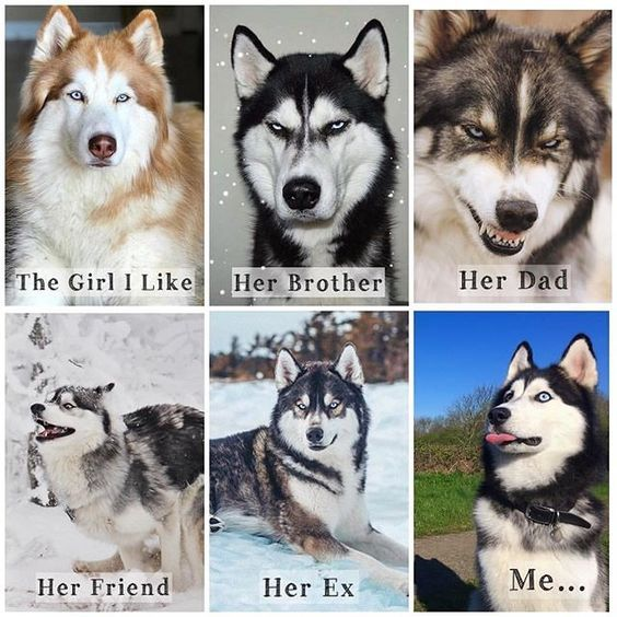 50 Funny Husky Memes That Will Keep You Laughing For Hours Husky Huskymemes Dogmemes Memes Funnymemes Lovely Anima Husky Memes Husky Funny Animal Jokes