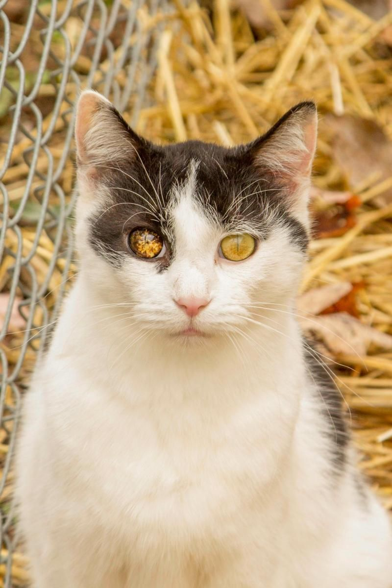 Meet Besos, an adoptable Domestic Short Hair-black and white looking for a forever home. If you're looking for a new pet to adopt or want information on how to get involved with adoptable pets, Petfinder.com is a great resource.