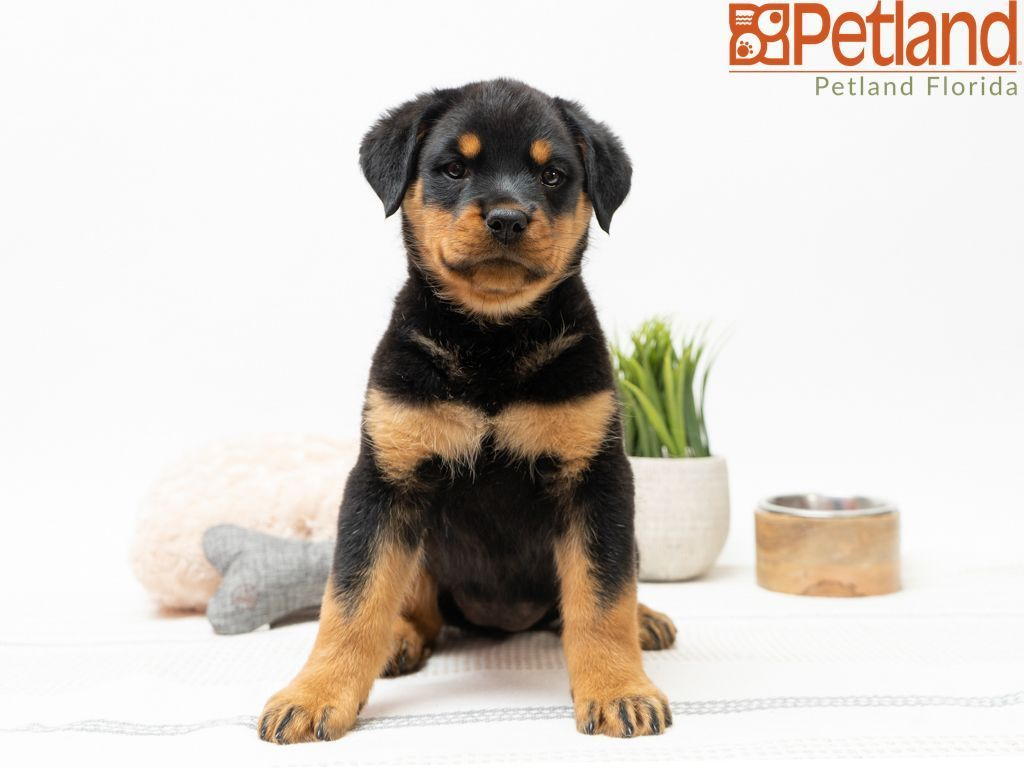 Puppies For Sale Rottweiler puppies for sale, Puppy