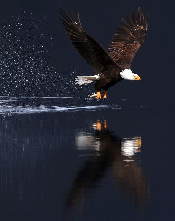 BALD EAGLE IN FLIGHT ALASKA nature poster MAGESTIC RARE HIGH QUALITY 24x36