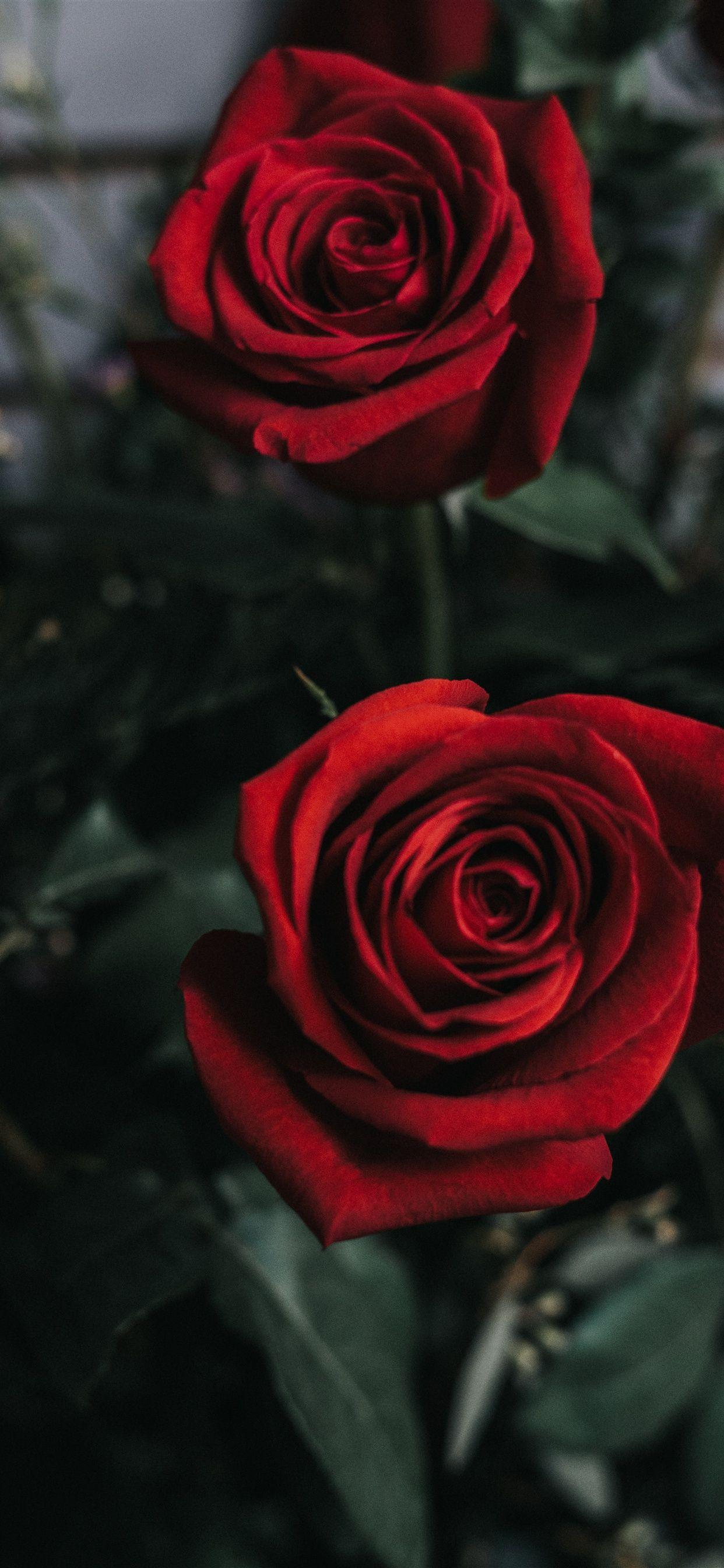 Wallpaper Iphone Xs Max 328 Rose Flower Wallpaper Red Roses Wallpaper Love Rose Flower
