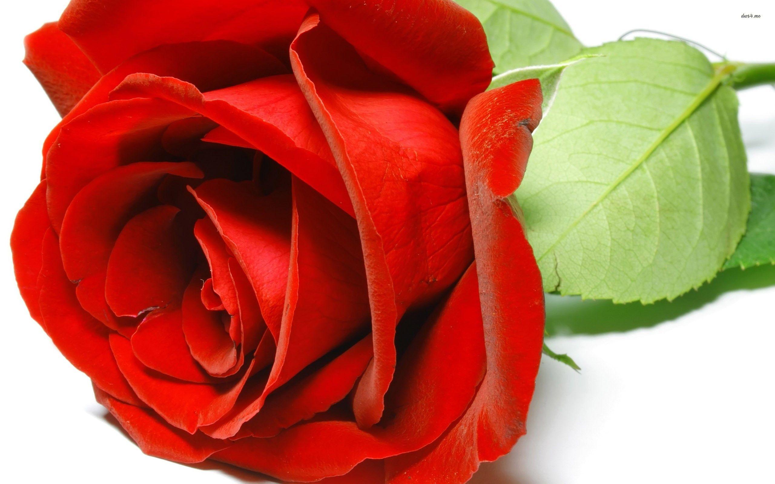 earth - rose - flower wallpaper | roses | pinterest | flower