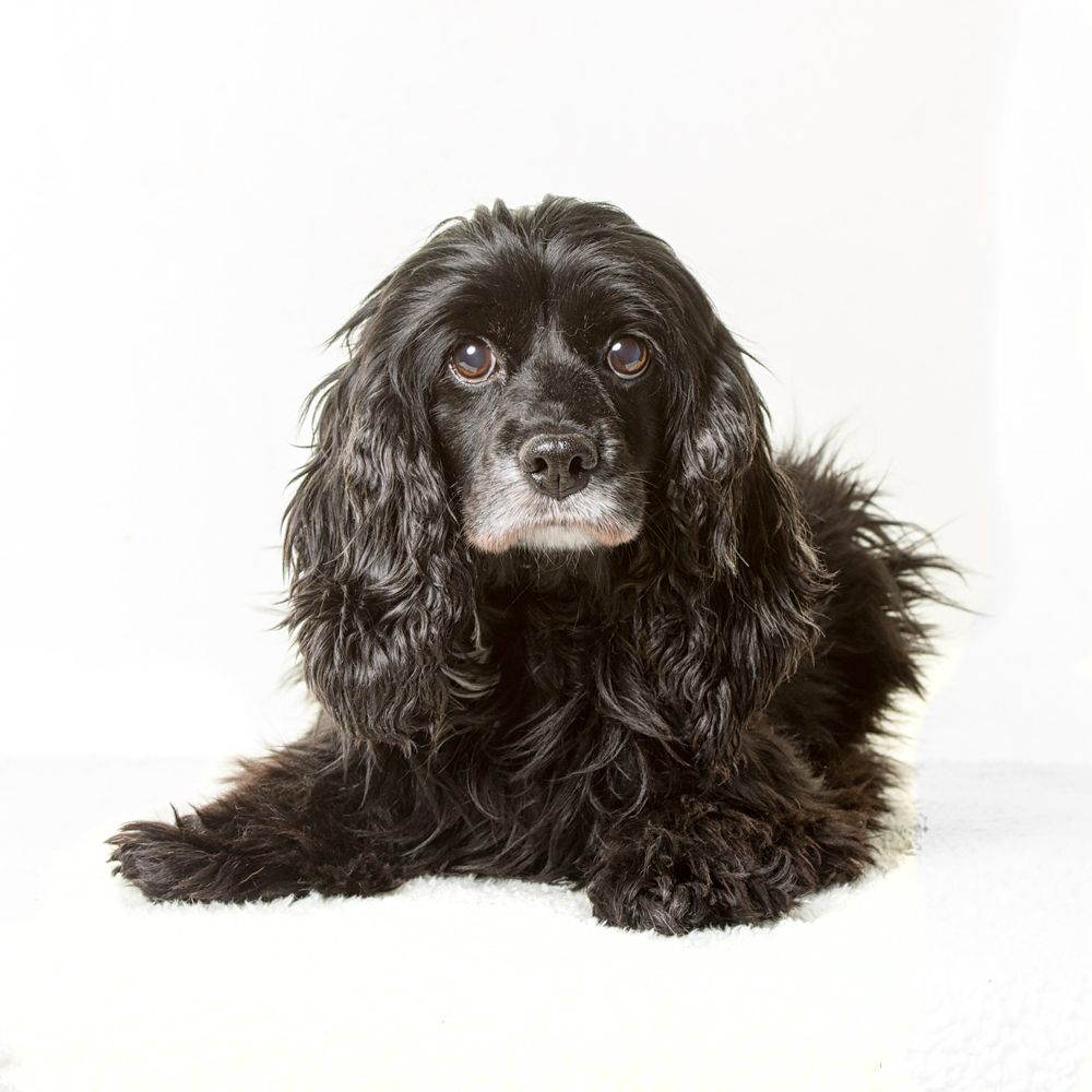 Cocker Spaniel dog for Adoption in St. Louis Park, MN. ADN