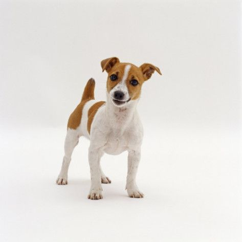 """If you don't have a Jack Russell,you don't know Jack"
