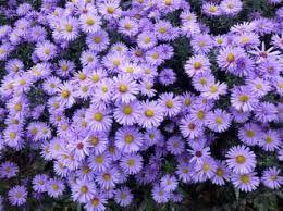 Flori De Gradina Care Infloresc Toata Vara Căutare Google